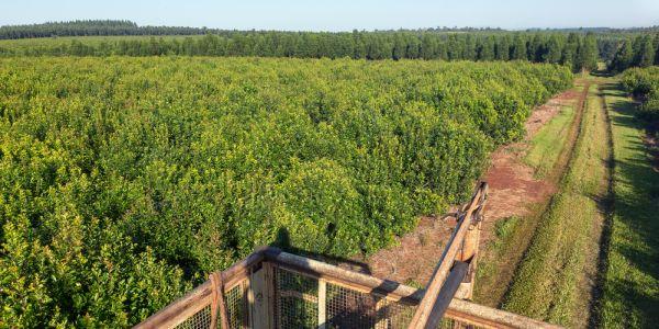 Uprawa ostrokrzewu paragwajskiego