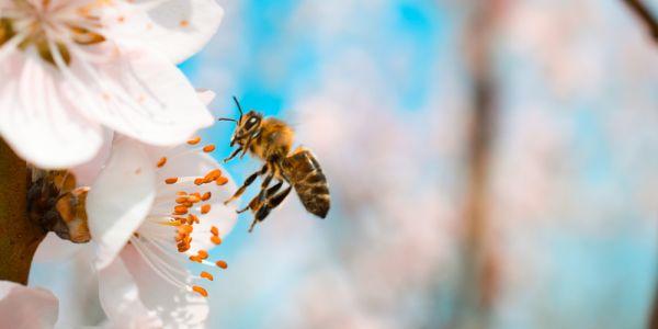 dlaczego pszczoły umierają